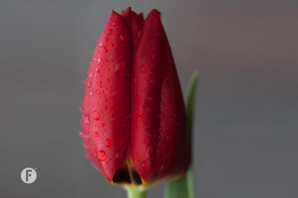 Tulpevent flowerfactor14