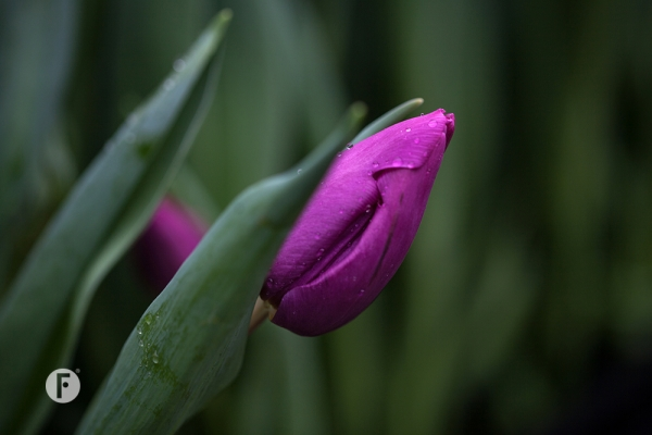 Tulpevent flowerfactor16