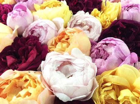 eetbare rozen westlands