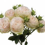 one single stem of the 'Porcelain Lace' spray rose by Interplant Roses