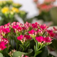 Kalanchoe - the blooming succulent