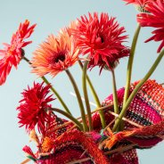 Colourful mini Gerbera varieties for Mother's Day - close-up