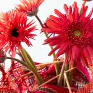 Colourful mini Gerbera varieties for Mother's Day - detail