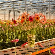 Surprising mini Gerbera's from LG Flowers