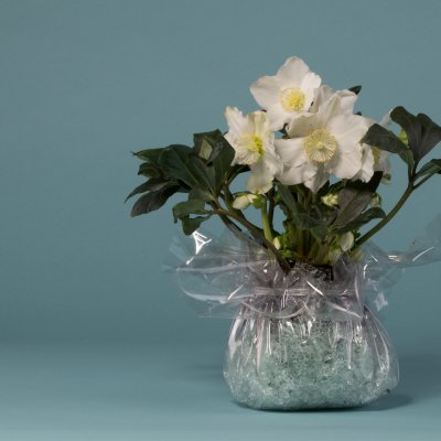 Winter gift with Hellebore 'Niger'