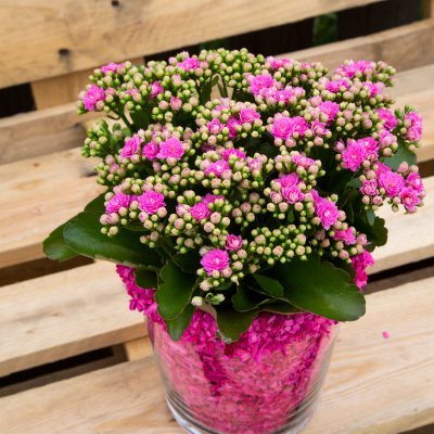 Pink Garden Kalanchoe with flair
