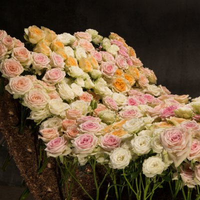 A bed of spray roses