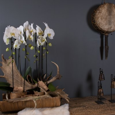 Orchids and antlers