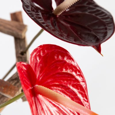 cut Anthuriums in wooden frame