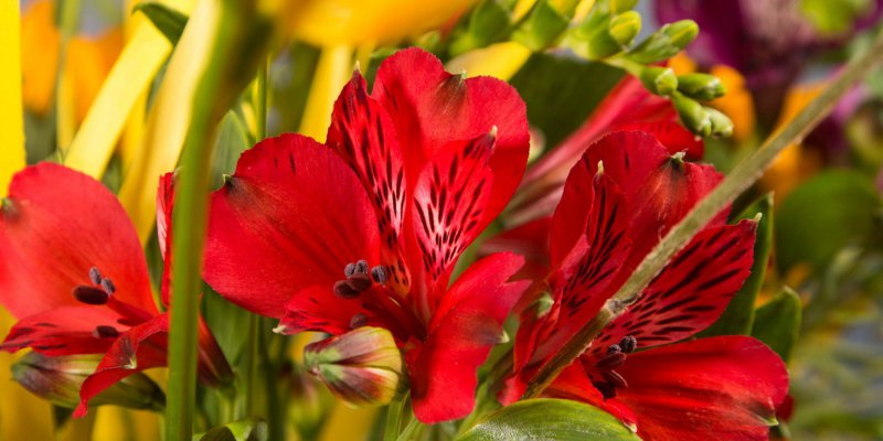 Summery Alstroemeria bouquet