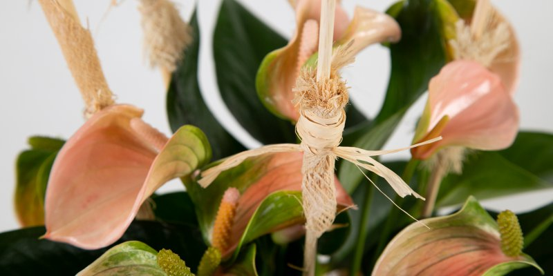 Anthurium with natural details