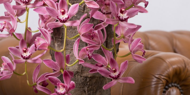 Cascade Cymbidium as an eyecatcher in an interior