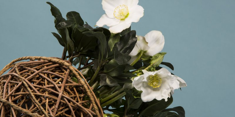 Helleborus 'Niger' wicker sphere