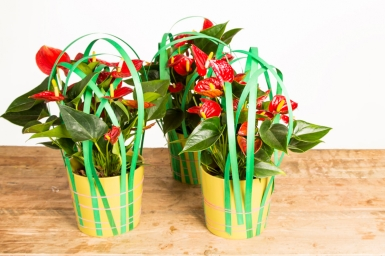 Easy plant decoration with Anthuriums