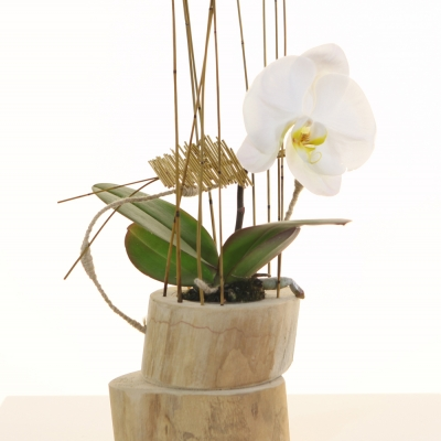Pure Simplicity with Singolo orchid