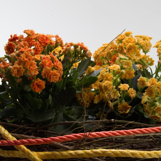 Kalanchoe plant arrangement close