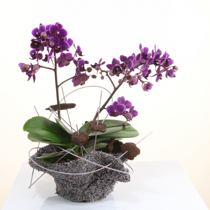 Optiflor orchidee21