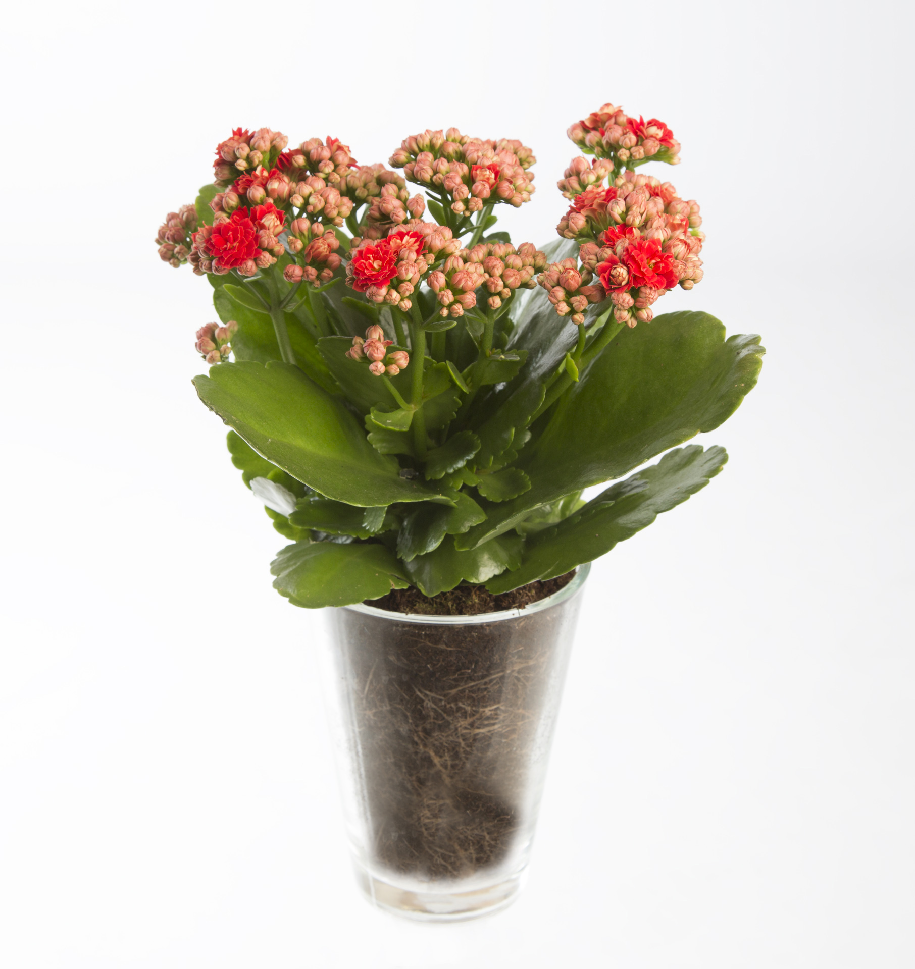 Kalanchoe | Flower Factor