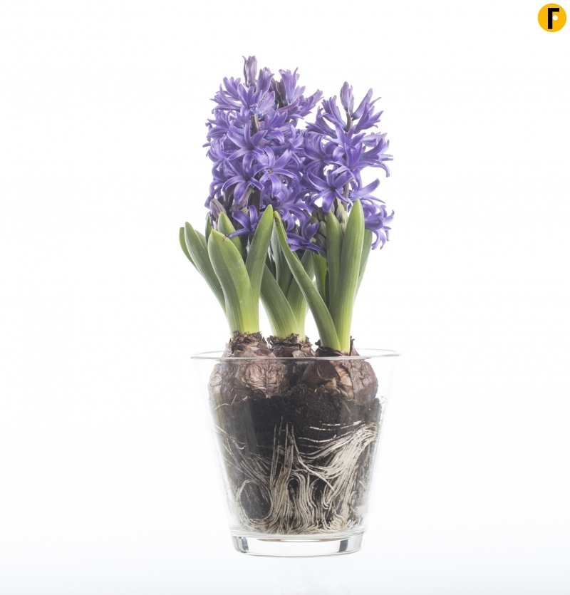 All about the hyacinth bulb flower factor - Planting hyacinths pots ...