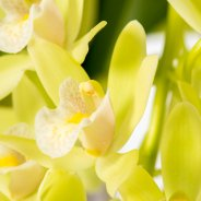 "Cymbidium cascade ""Jennifer"" green close"