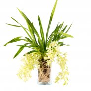 "Cymbidium cascade ""Jennifer"" green"