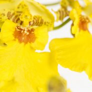 Oncidium - Tiger Orchid