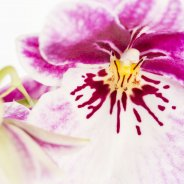 Miltonia - Pansy Orchid