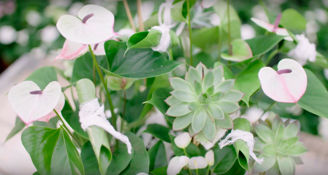 Full Anthurium Plant Arrangement Flower Factor