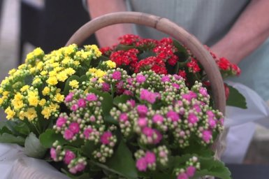 Baskets full of colourful Kalanchoe by Menno Kroon