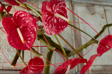 Red Anthurium design with Eterno