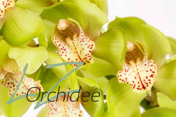 LZ Orchidee Webshop