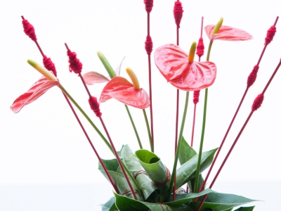 Step by step: Anthurium plant turns flower arrangement